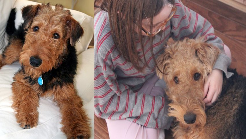 9 Reasons Why Everyone Loves A Welsh Terrier