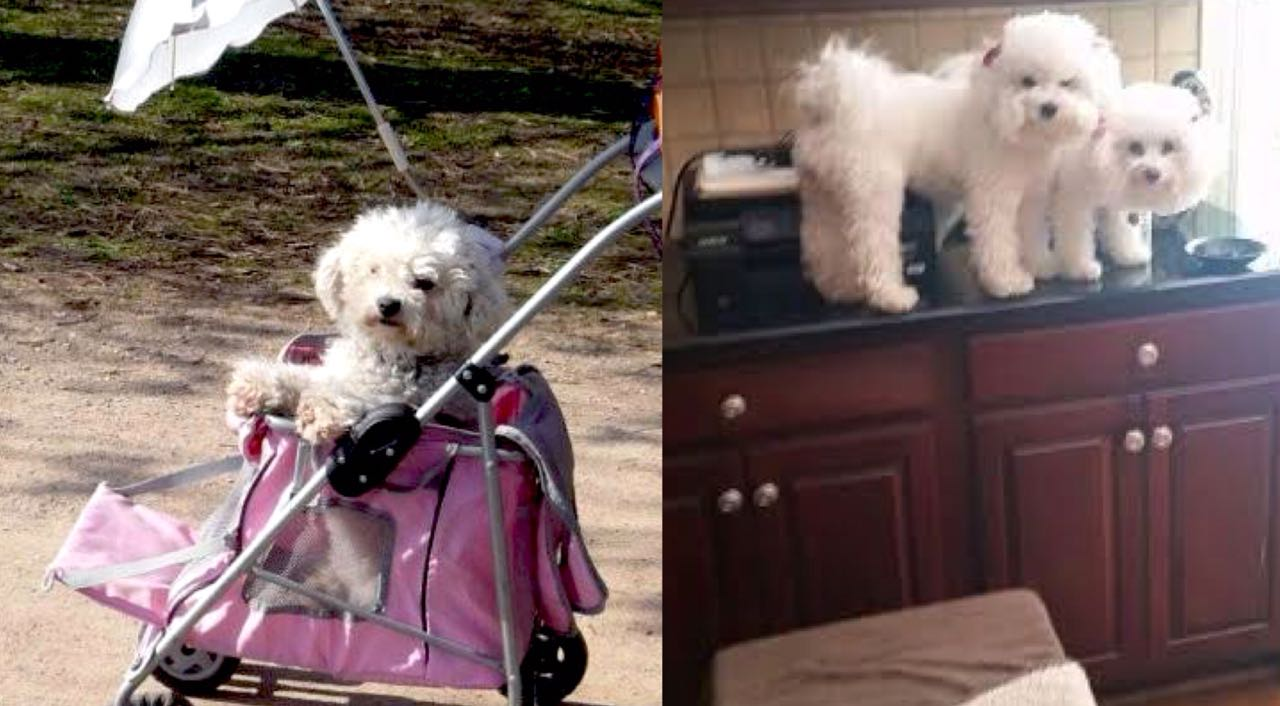 15 Pictures That Prove That Bichon Frises Are The Worst Dogs On Earth