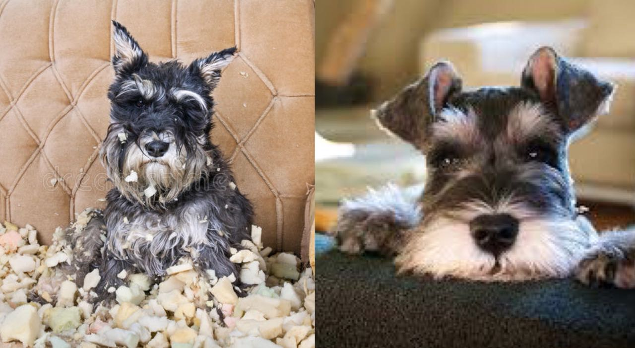 15 Pictures That Prove That Schnauzers Are The Worst Dogs On Earth