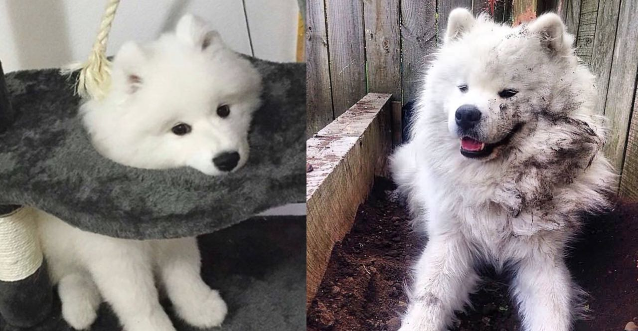15 Photos That Prove That Samoyeds Are The Worst Dogs On Earth