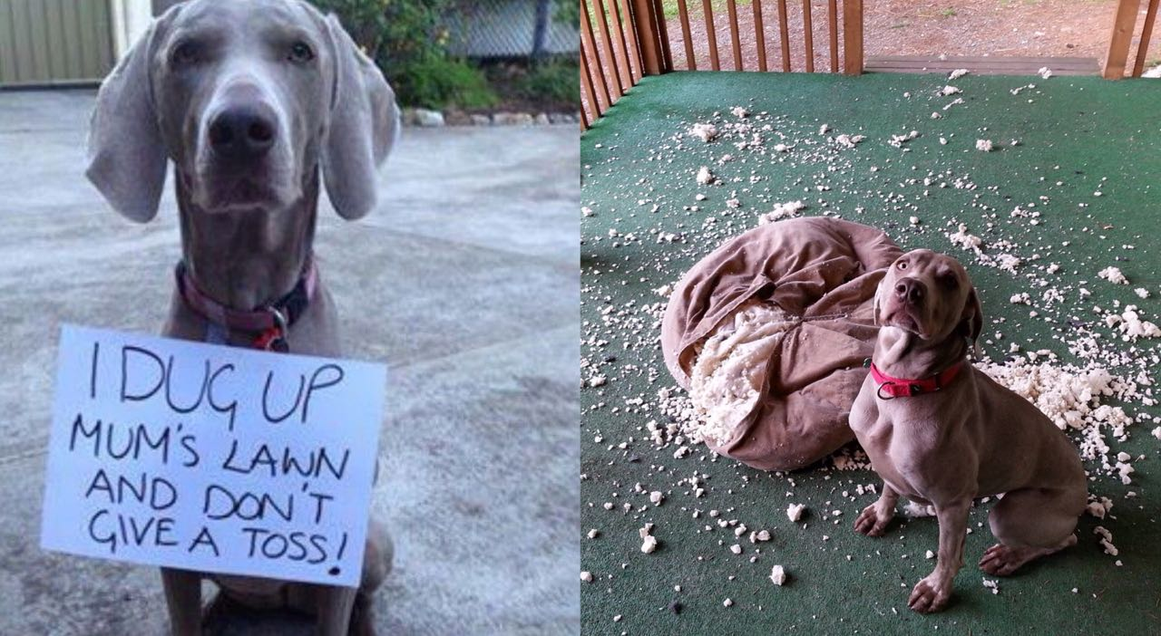 15 Photos That Prove That Weimaraners Are The Worst Dogs On Earth