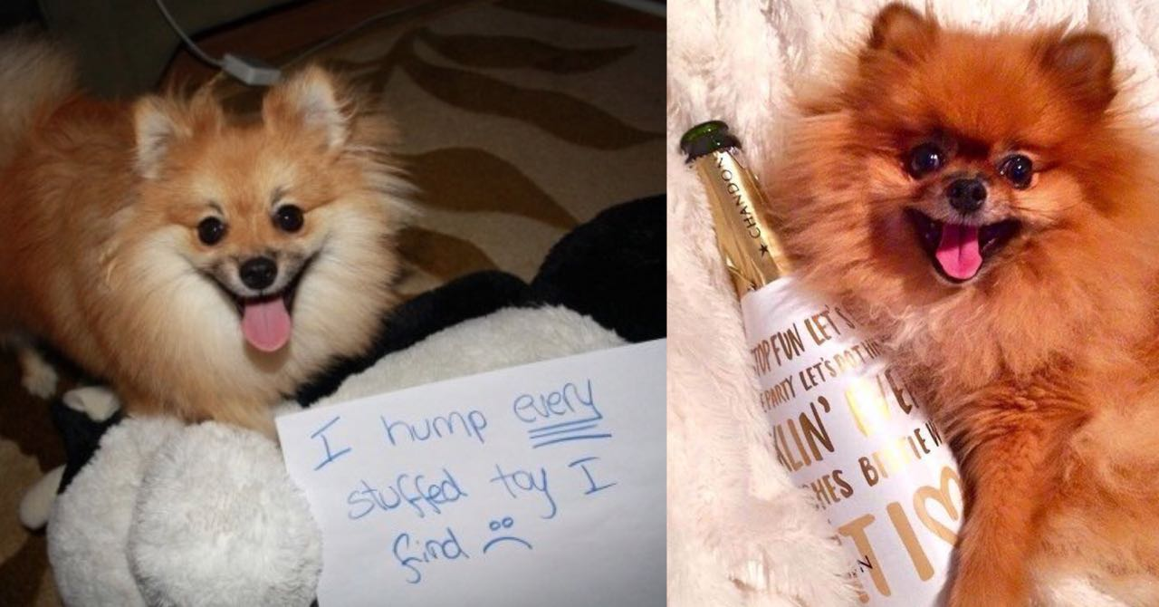 15 Photos That Prove That Pomeranians Are The Worst Dogs On Earth