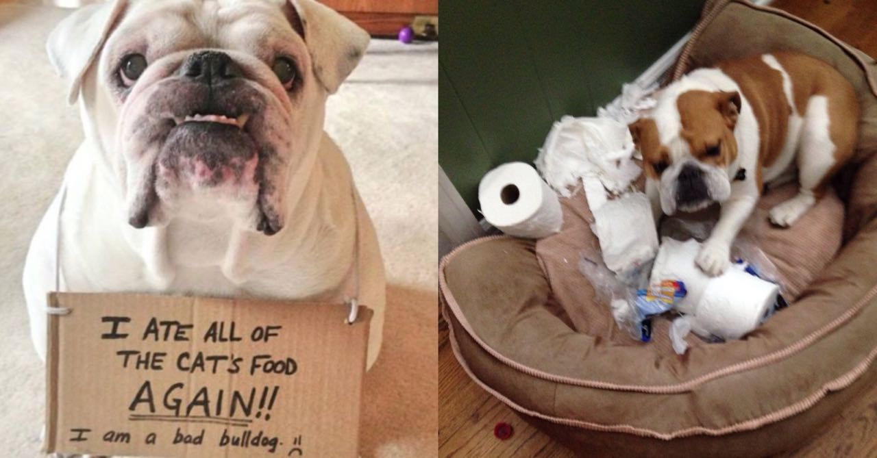15 Photos That Prove That Bulldogs Are The Worst Dogs On Earth