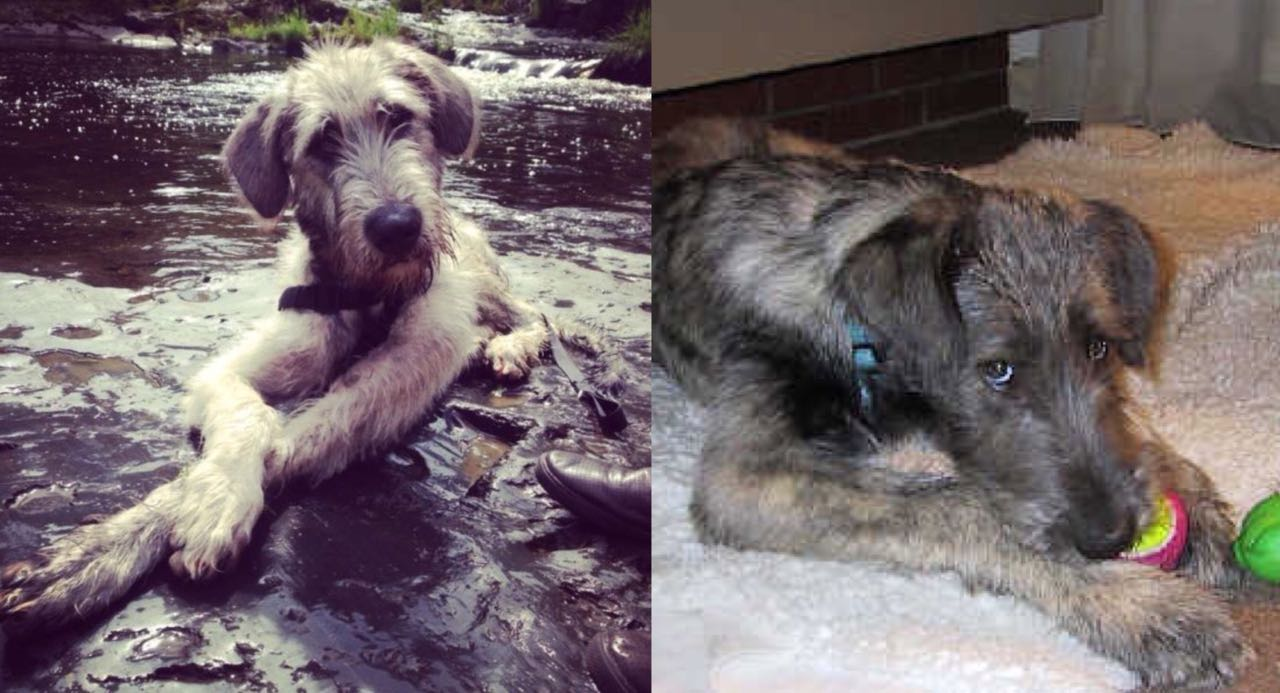 15 Photos That Prove That Irish Wolfhounds Are The Worst Dogs On Earth