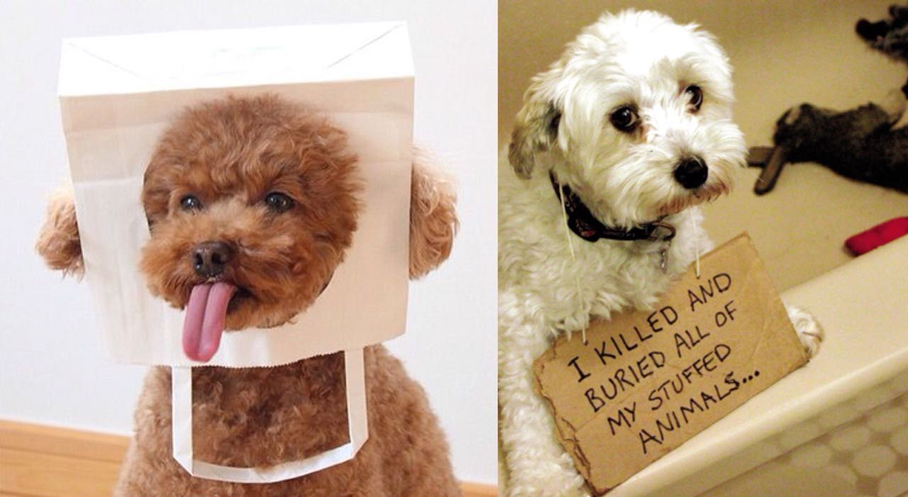 15 Photos That Prove That Poodles Are The Worst Dogs On Earth