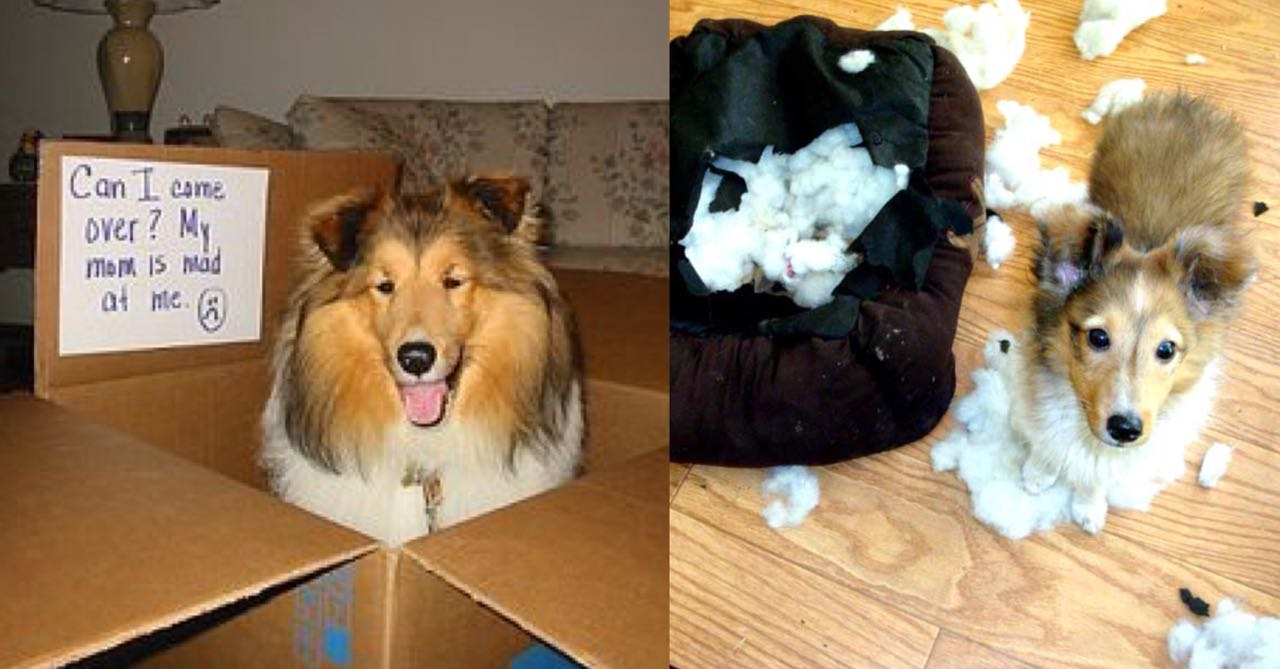 15 Photos That Prove That Shelties Are The Worst Dogs On Earth