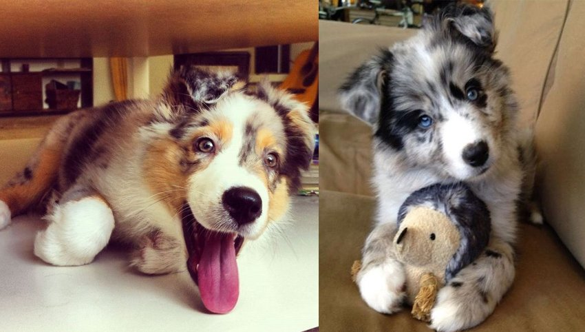 9 Rules Australian Shepherd  Have For You