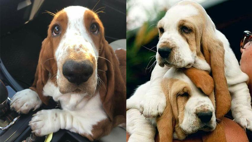 12 Signs You're An Overprotective Basset Hound Parent