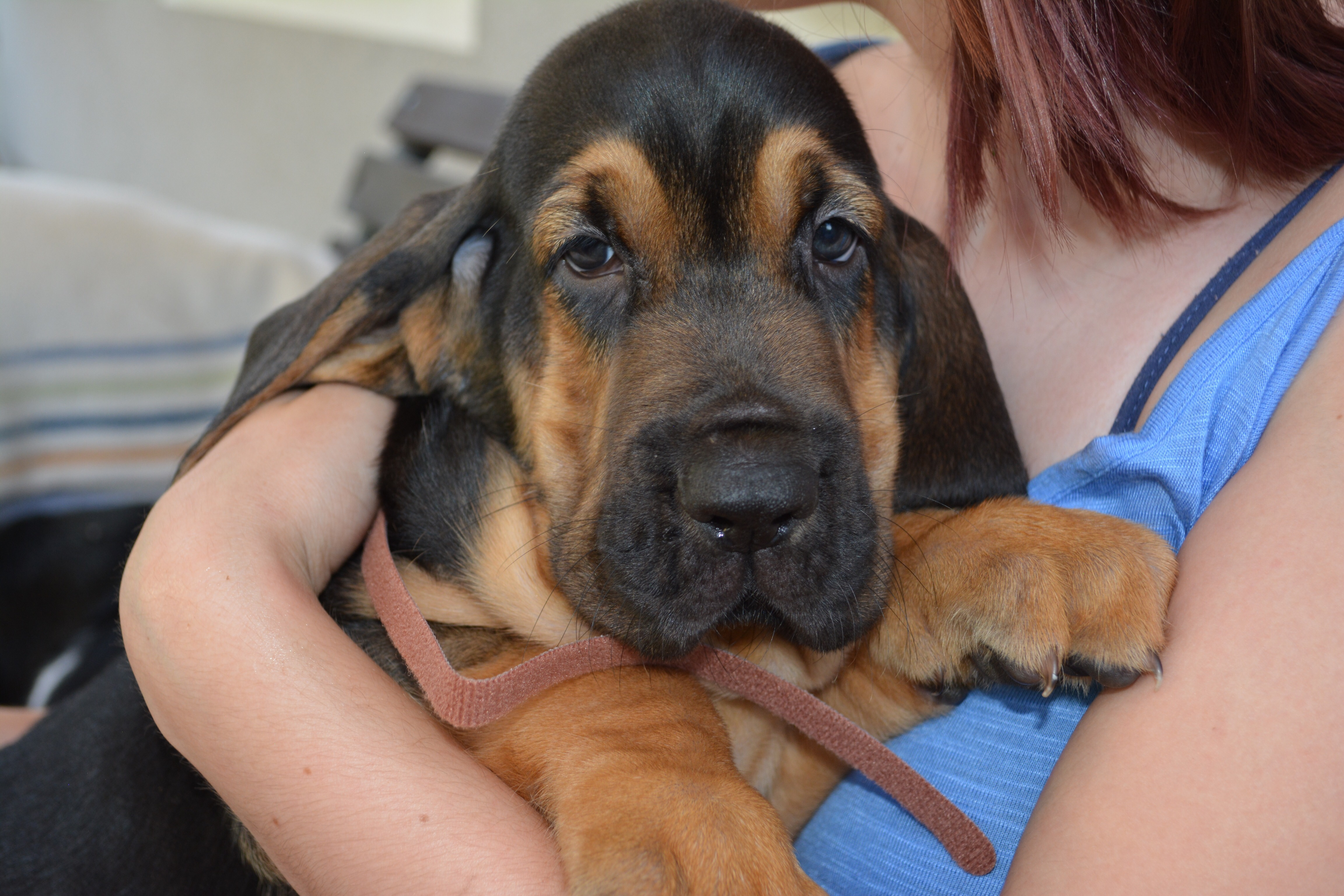 9 Things That  You Have To Endure Of Your Bloodhound For Real Love.