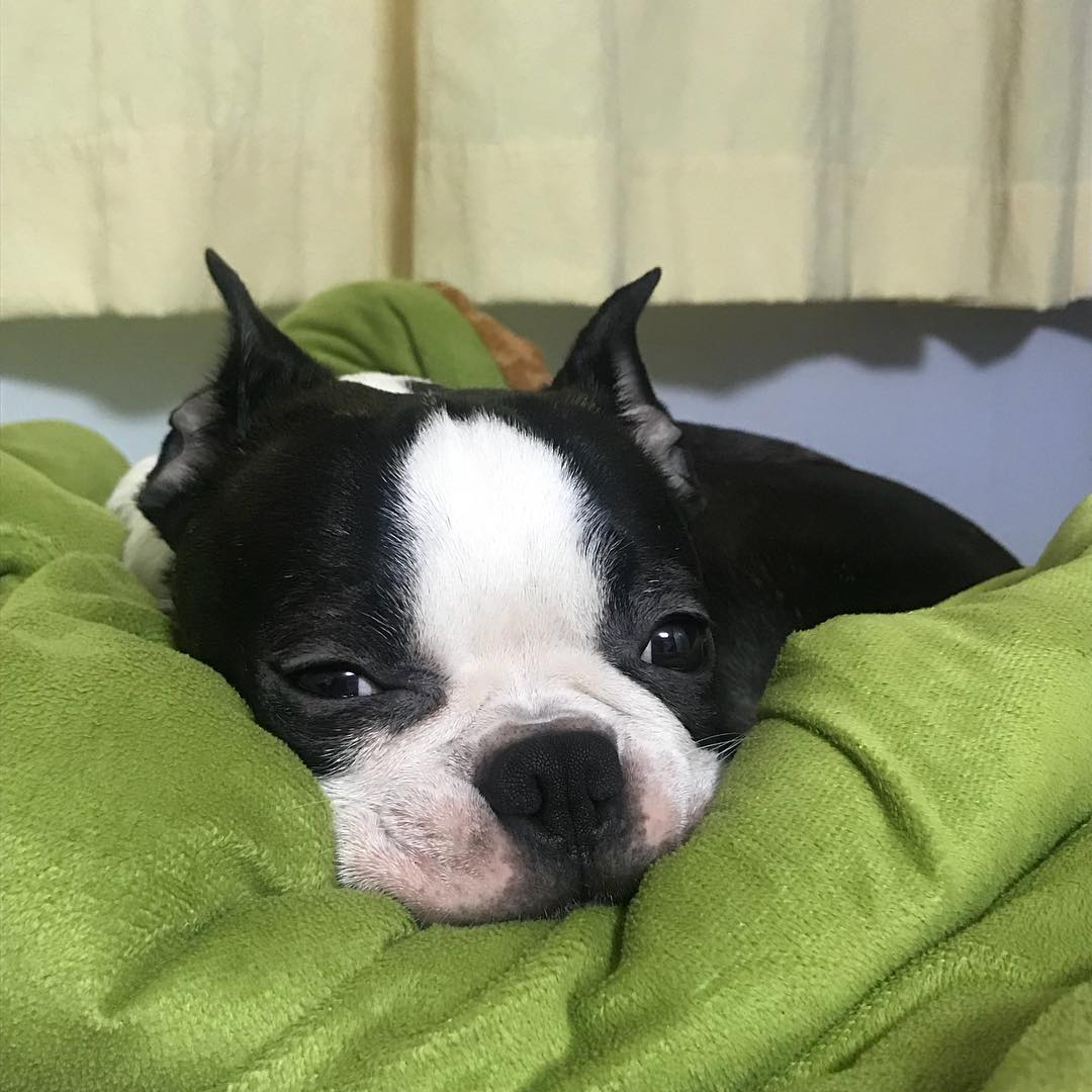 9 Things Our Boston Terrier Probably Dream About