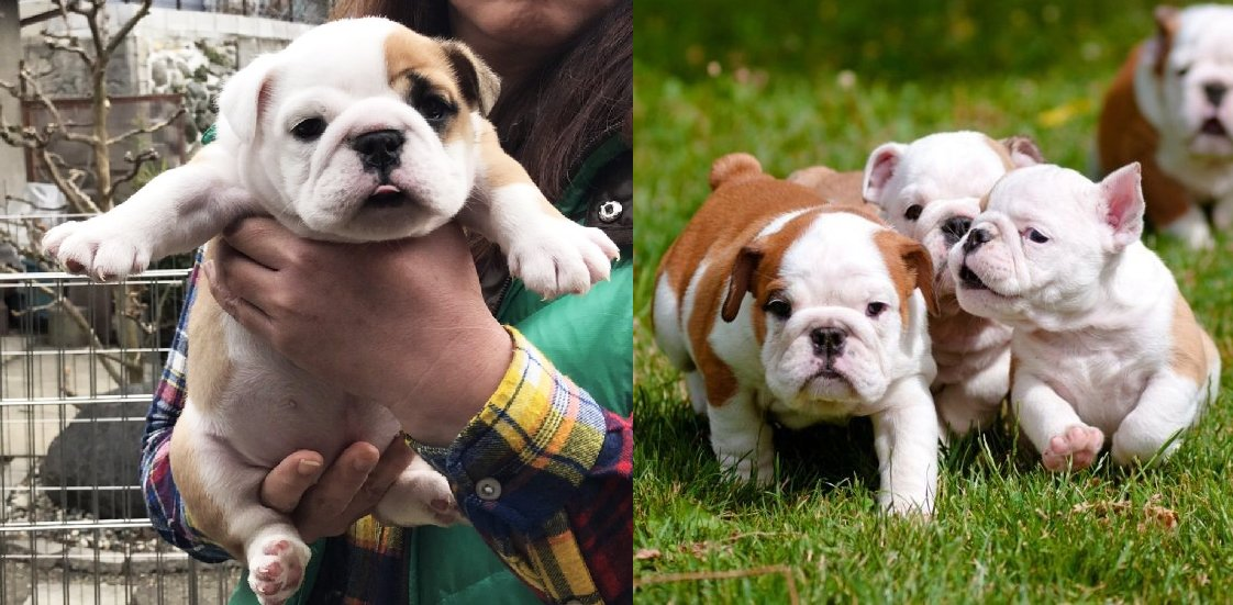 10 Reasons Bulldogs Are Underrated, It's Time They Get Some More Love