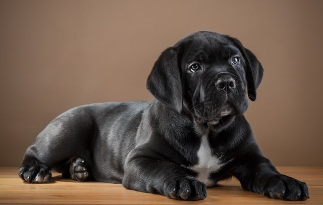 11 Things That  You Have To Endure Of Your  Cane Corso For Real Love.