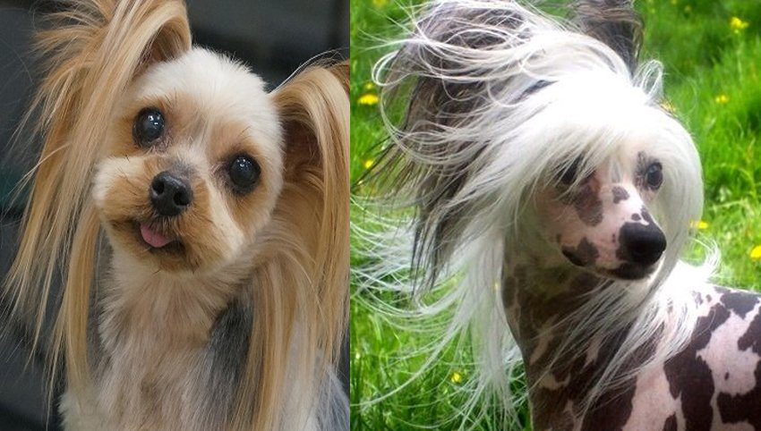 9 Stranger Ways Your Chinese Crested Express Their Undying Love For You