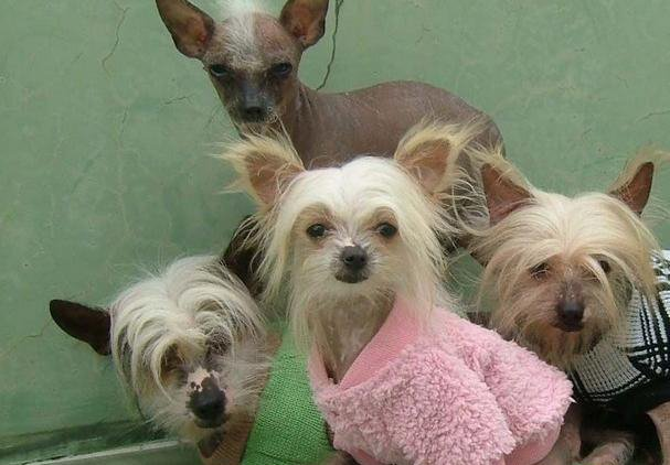10 Things That  You Have To Endure Of Your Chinese Crested For Real Love.