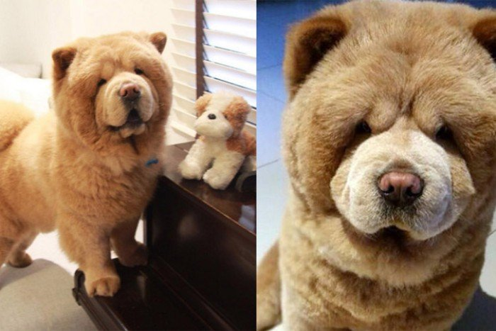 10 Reasons Why Chow Chow Are Perfect