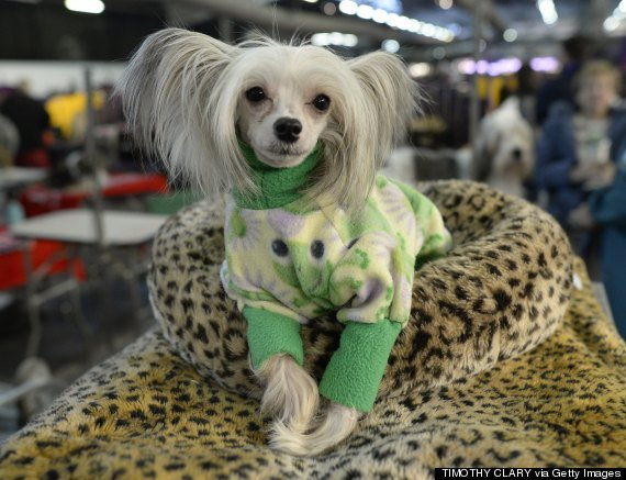13 Signs You're An Overprotective Chinese Crested Parent