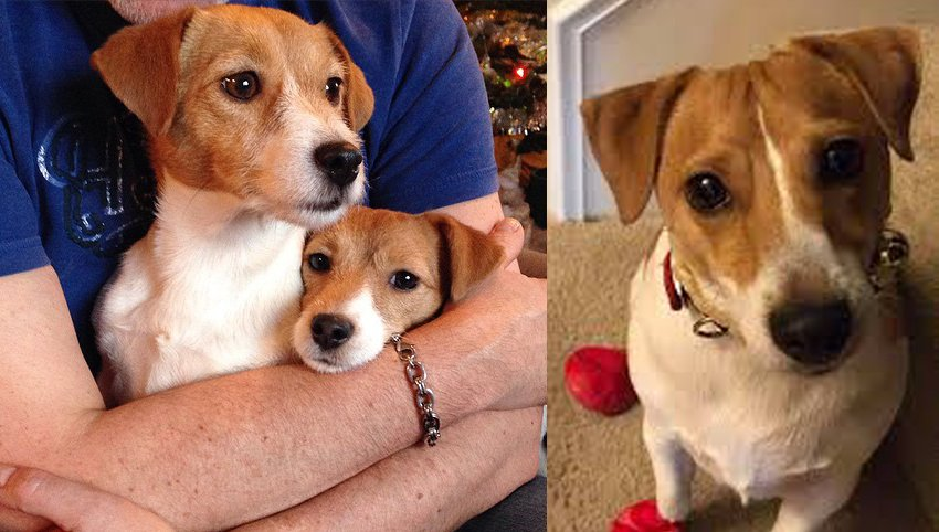 9 Signs Your Jack Russell Terrier Is Your Absolute Best Friend