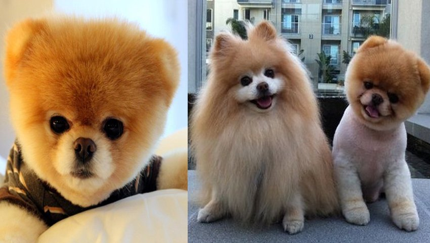 9 Signs Your Pomeranian Is Your Absolute Best Friend