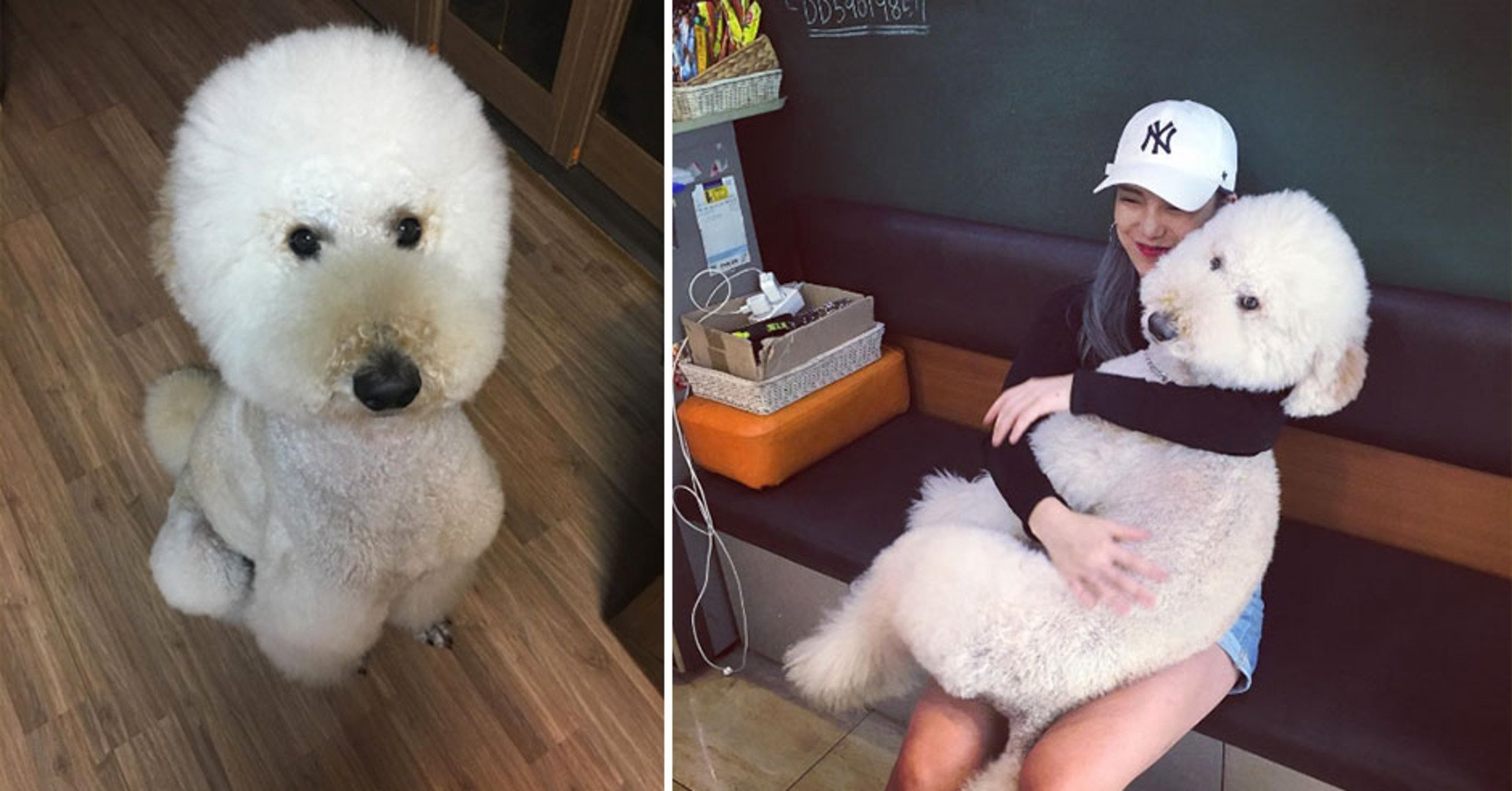 9 Signs Your Poodles Is Your Absolute Best Friend