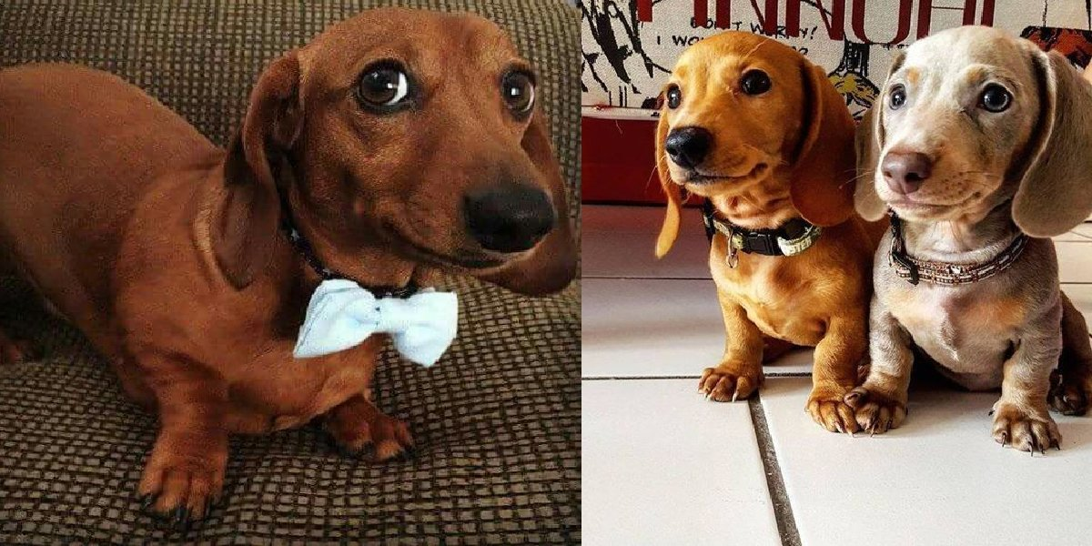 9 Stranger Ways Your Dachshund Express Their Undying Love For You