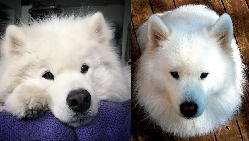 10 Signs Your Samoyed Is Obsessed With You!