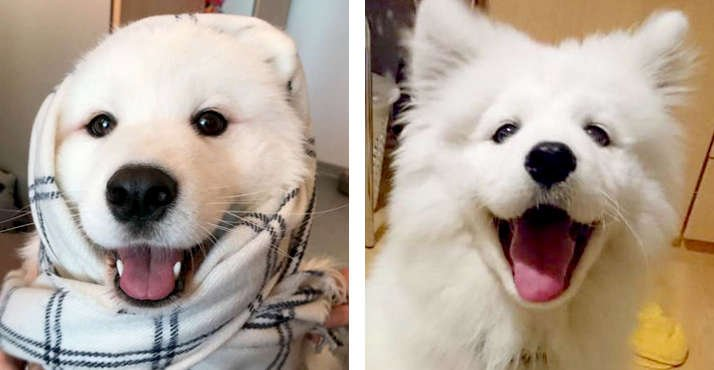 10 Reason Samoyed Are Underrated, It is Time They Get Some More Love