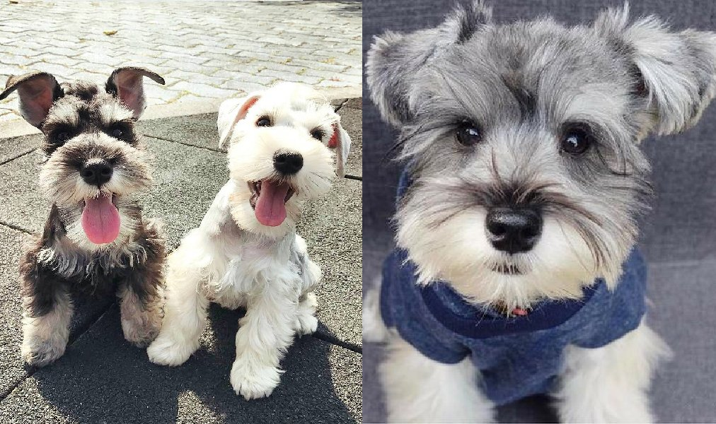 9 Stranger Ways Your Schnauzer Express Their Undying Love For You