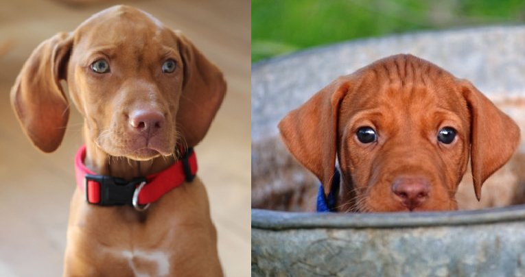 11 Things That  You Have To Endure Of Your Vizsla For Real Love.