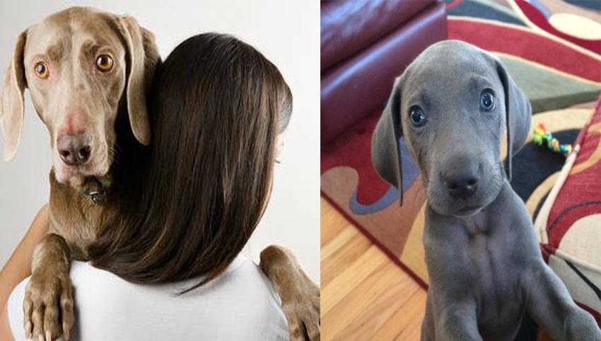10 Reason Weimaraner Are Underrated, It is Time They Get Some More Love