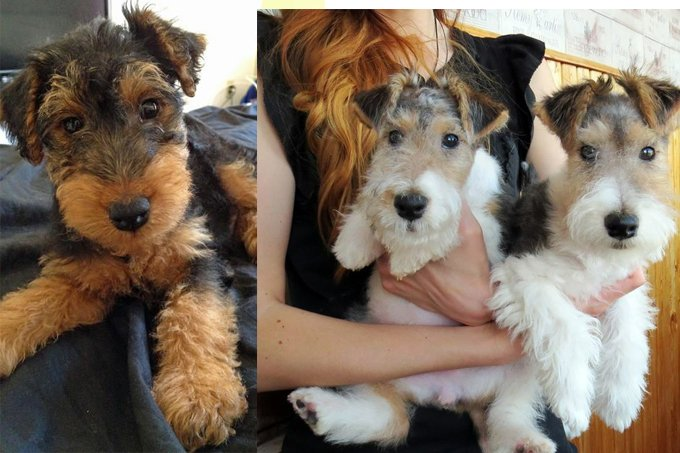 11 Signs You're An Overprotective Welsh Terrier Parent