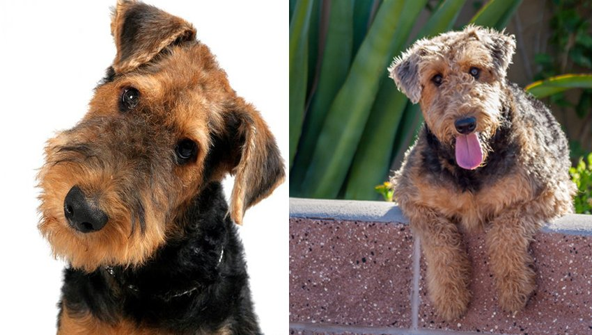 9 Signs That Welsh Terrier dog Is Your Soulmate