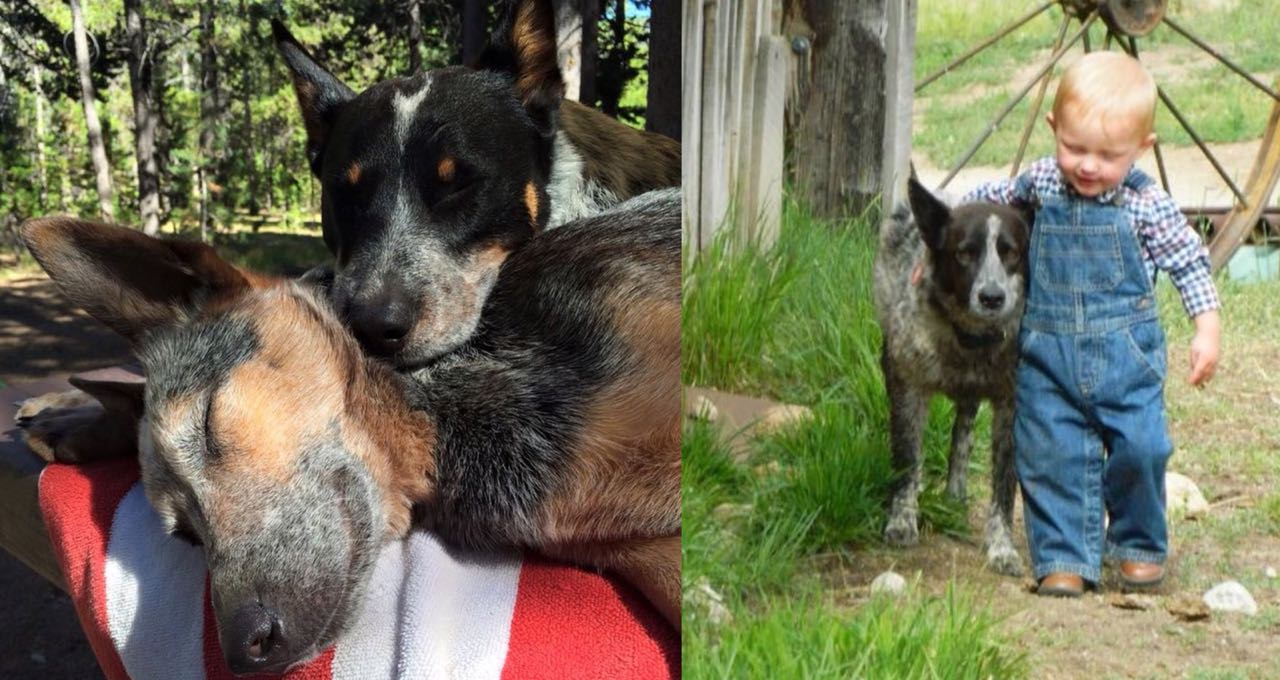 10 Amazing Ways Your Heeler Will Change Your Life Extremely
