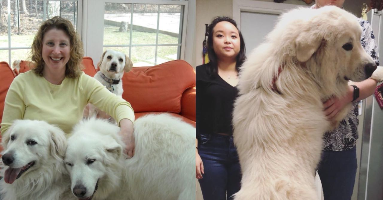 12 Amazing Ways Your Great Pyrenees Will Change Your Life ...