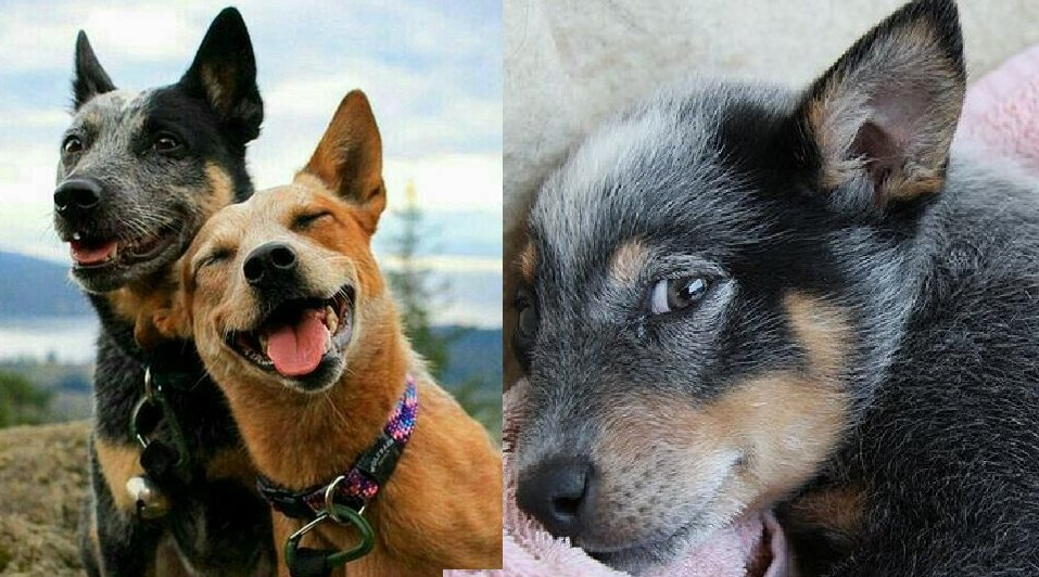 9 Things Only People Who Are Obsessed With Heelers Will Understand
