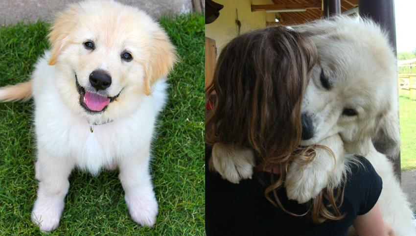 "9 Signs Your Great Pyrenees is Actually Your ""Baby"""