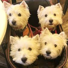 9 Things Only People Who Are Obsessed With Westies Will Understand