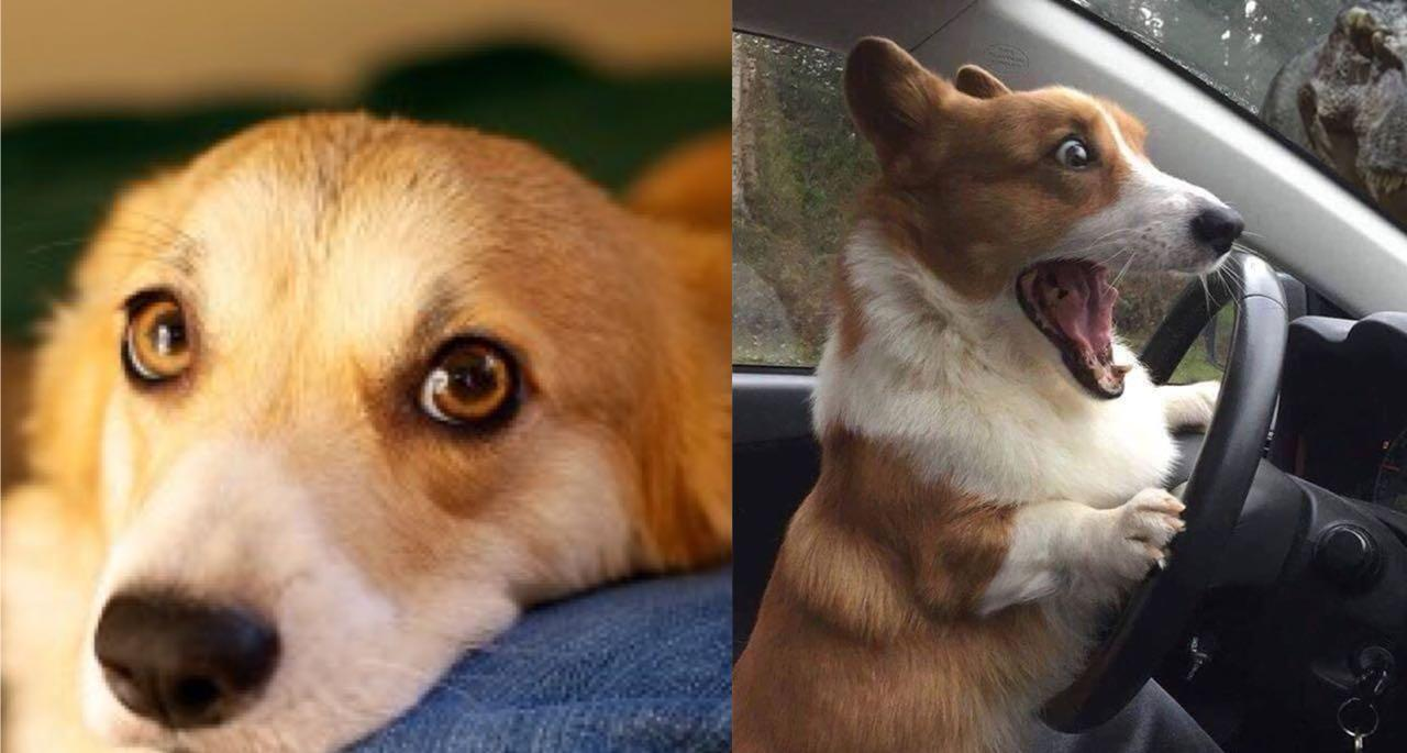 10 Translated Barks: Know What Your Corgi Is Saying