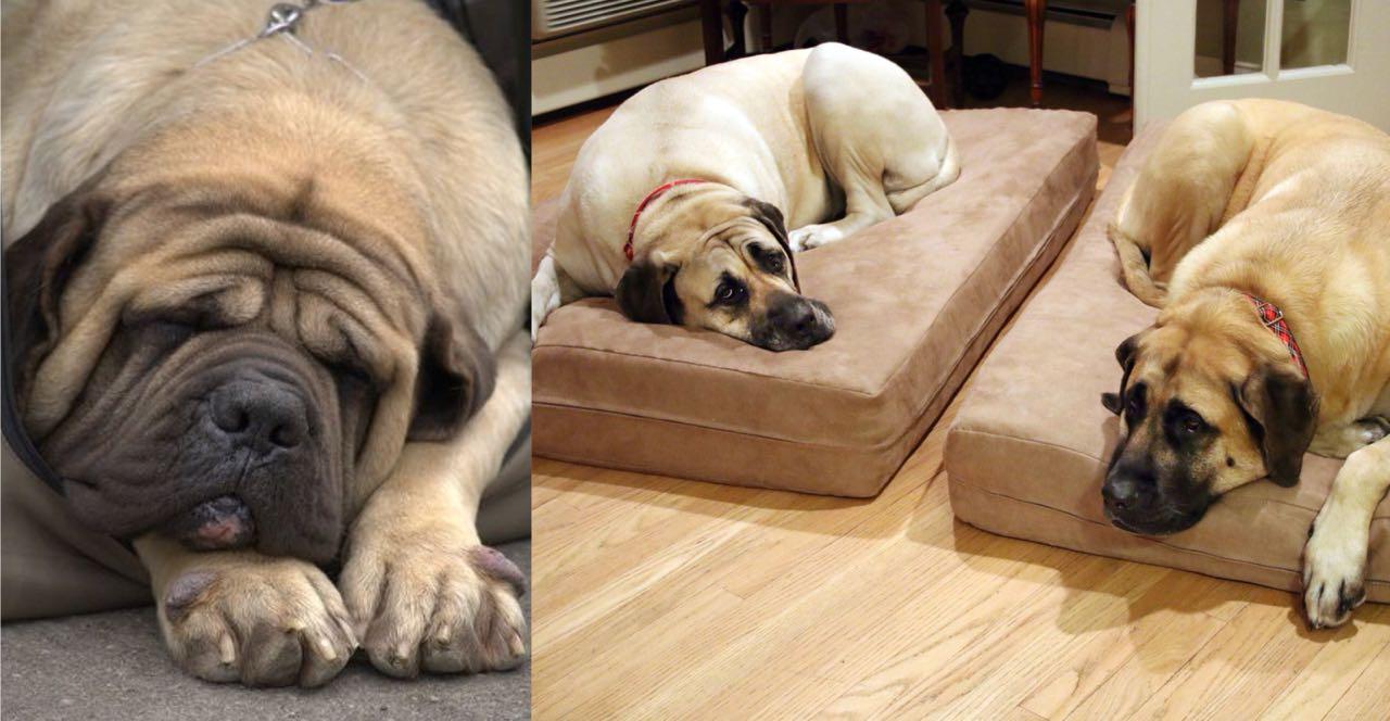 Resultado de imagen para mastiff sleeping