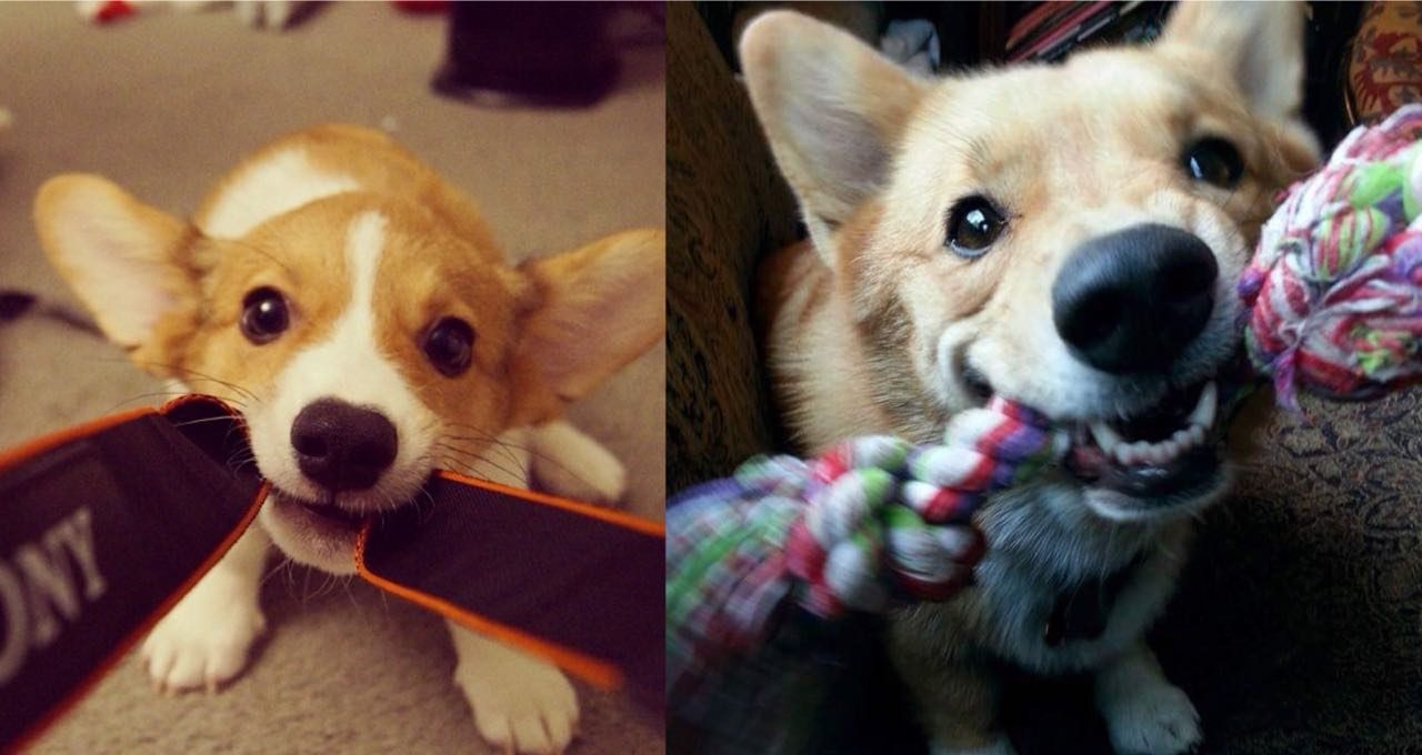 Is Your Corgi A Tireless Buddy? Learn 10 Wonderful Ways To Tire Out Your Corgi