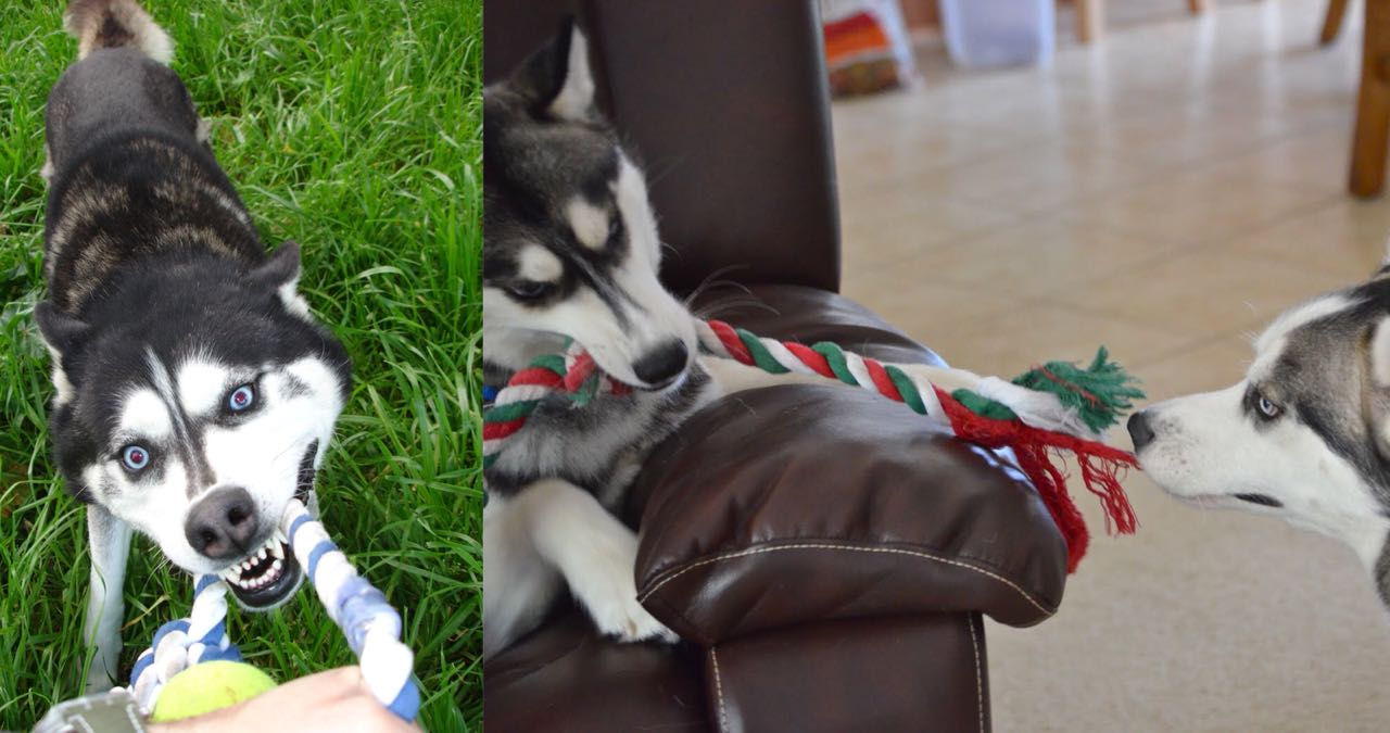 Is Your Husky A Tireless Buddy? Learn 10 Wonderful Ways To Tire Out Your Husky