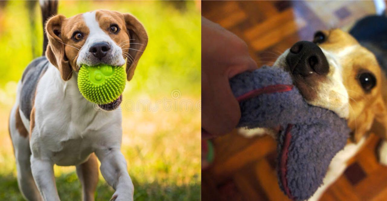 Is Your Beagle A Tireless Dog? Learn 10 Wonderful Ways To Tire Out Your Beagle