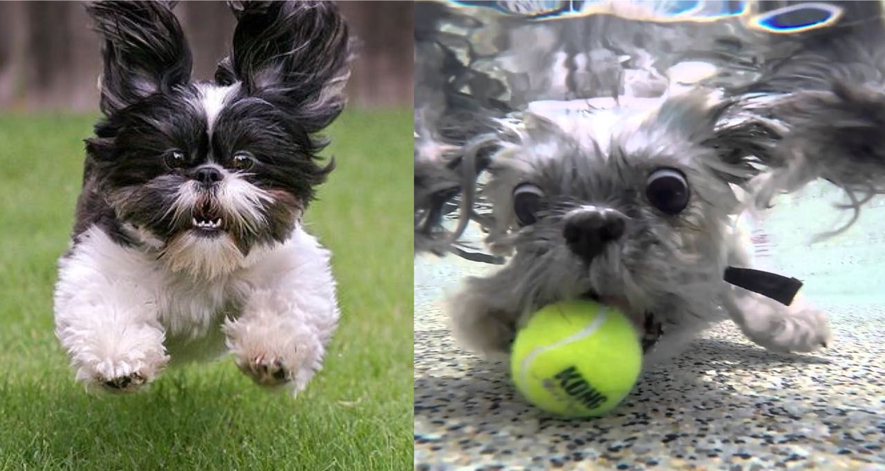 Is Your Shih Tzu A Tireless Dog? Learn 10 Wonderful Ways To Tire Out Your Shih Tzus