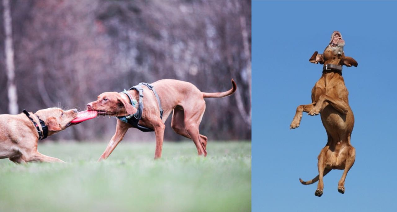 Is Your Vizsla A Tireless Dog? Learn 10 Wonderful Ways To Tire Out Your Viszla