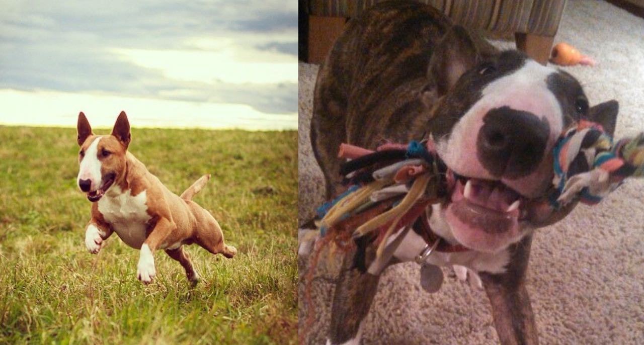 Is Your Bull Terrier A Tireless Dog? Learn 9 Wonderful Ways To Tire Out Your Bull Terrier