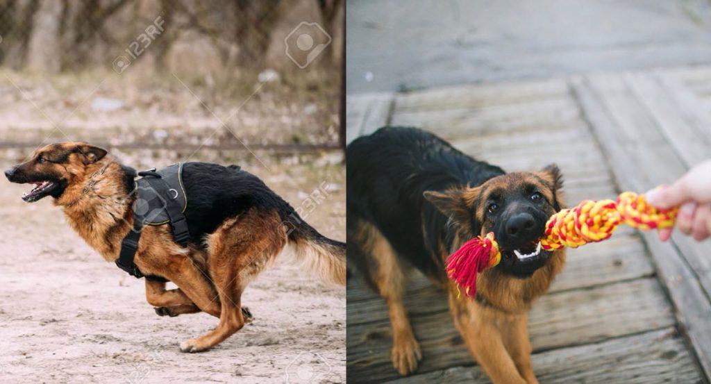 Is Your German Shepherd A Tireless Dog? Learn 9 Wonderful Ways To Tire Out Your German Shepherd