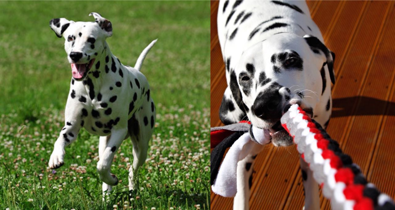 Is Your Dalmatian A Tireless Dog? Learn 9 Wonderful Ways To Tire Out Your Dalmatian