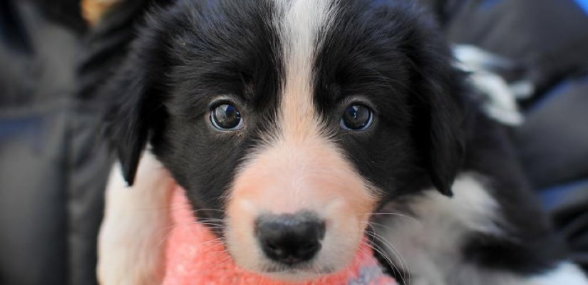 7 Ways to Know if Your Border Collie Bonded to You