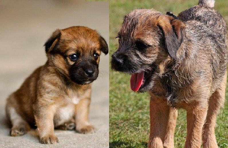 7 Ways to Know if Your Border Terrier is Bonded to You