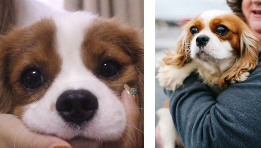 7 Ways to Know if Your Cavalier Bonded to You