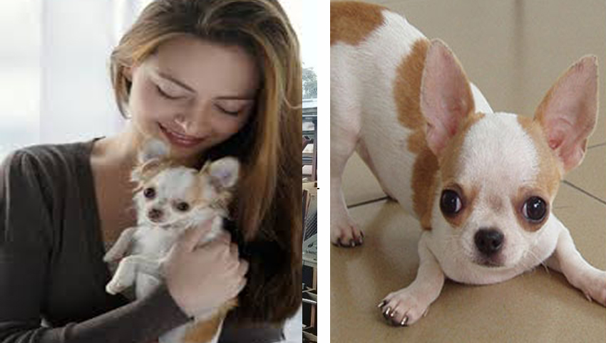 9 Reasons You Should Cuddle Your Chihuahua More Often